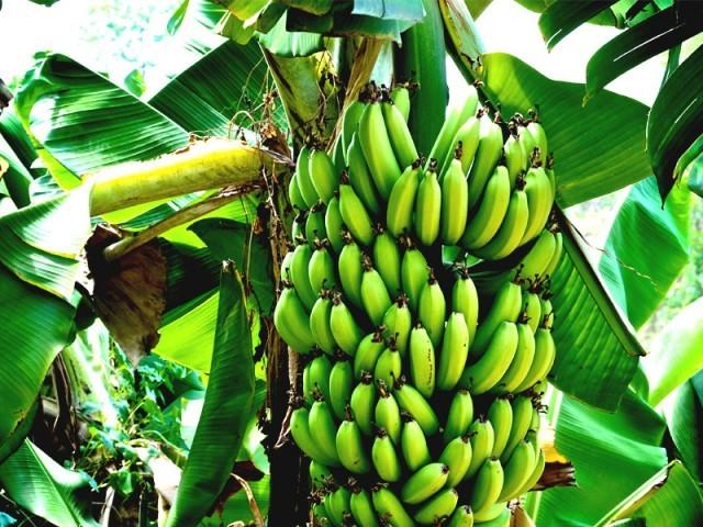 سندھ کی سرزمین اعلیٰ اقسام کے انگور کی کاشت کیلیے بھی موزوں ہے، ڈاکٹر افتخار. فوٹو: فائل