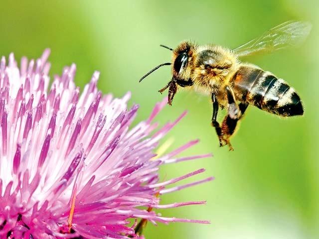 شہد کی مکھیوں کو کئی چیزوں کی شناخت کی تربیت دی جاسکتی ہے فوٹو: فائل