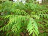سینے کی جکڑن ختم کرنے کے لیے کڑی پتے کے ایک چمچہ پاؤڈر میں ایک چمچہ شہد ملائیں اور اسےدن میں 2 مرتبہ استعمال کریں، فوٹوفائل