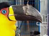 طوطے کی چونچ کا وہ اوپری بڑا حصہ ٹوٹ چکا تھا جو اسے کھانے میں مدد دیتا ہے۔فوٹو فائل