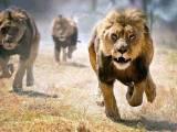 شیروں نے چھلانگ لگانے والے شخص پر حملہ کیا اور اسے شدید زخمی کردیا تاہم چڑیا گھر انتظامیہ نے اس کی جان بچالی۔ فوٹو؛ فائل