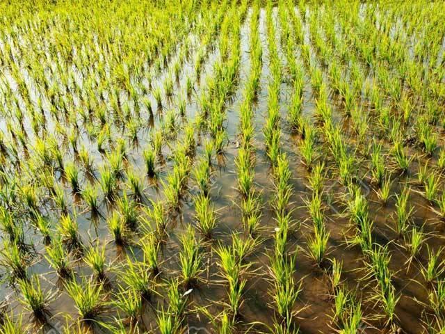 چاول کی فصل میں نائٹروجن جذب کرنے کی زبردست صلاحیت ہوتی ہے جو ماحول کو فائدہ پہنچاتی ہے، ماہرین، فوٹو؛ فائل
