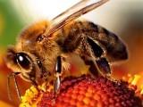 مکھیوں کےزہر کا ایک عنصر ہڈیوں کو ٹوٹ پھوٹ سے محفوظ رکھتا ہے۔ ماہرین، فوٹو؛ فائل