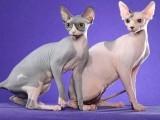 بے بال ابوالہول بلی دنیا کی مہنگی بلیوں میں شمار ہوتی ہے جسے 1960 کے عشرے میں بلیوں کی مختلف نسلوں میں کراس بریڈنگ سے تیار کیا گیا ہے۔ (فوٹو: فائل)