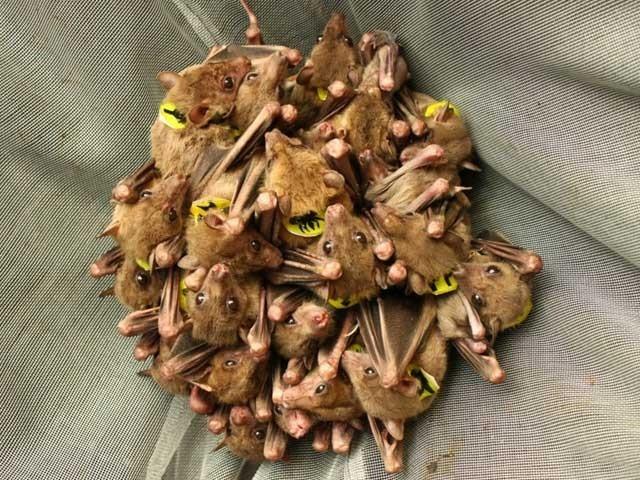 چھوٹی جسامت اور پھلوں کے رس پر گزارا کرنے والی یہ مصری چمگادڑیں ایک دوسرے کو ان کے ناموں سے مخاطب کرتی ہیں۔ (فوٹو: فائل)