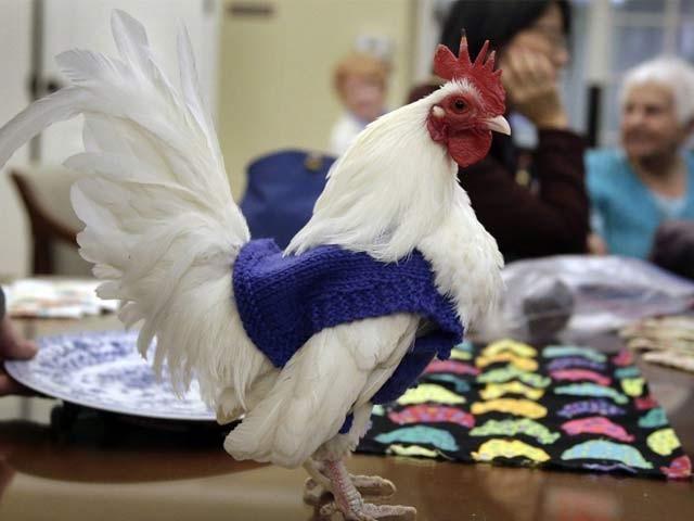 علاقے کے لوگوں کا ماننا ہے کہ سویٹر پہننے سے مرغیاں زیادہ انڈے دینے لگی ہیں، فوٹو: بشکریہ بوسٹن انسائیڈر