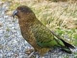 طوطے کی یہ نسل نیوزی لینڈ میں پائی جاتی ہے جو اپنی آواز سے دوسرے طوطوں کو جمع کرلیتا ہے، فوٹو؛ فائل