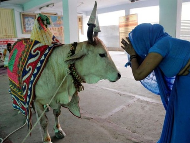 گائے بھارت کی ثقافت کی علامت ہے،ریاستی وزیرداخلہ۔ فوٹو:فائل
