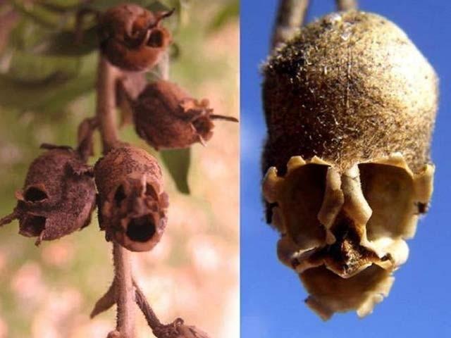 اسنیپ ڈریگن پودے یورپ اور امریکا میں مشہور ہیں جن کے پھول کی پنکھڑیاں انسانی کھوپڑی کی صورت اختیار کرلیتی ہیں