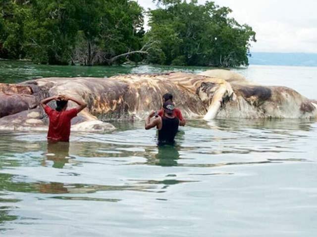 جزیرے سیرام پر لوگ پہلے اس سمندری جانور کو ایک بہت بڑی شکستہ کشتی سمجھے۔ فوٹو: بشکریہ جکارتہ ٹائمز