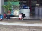 یہ کتا صرف اپنے لیے ہی نہیں بلکہ اپنے مالک کے دوسرے پالتو جانوروں کےلیے بھی دکان سے کھانا لاتا ہے۔ (فوٹو: سوشل میڈیا)