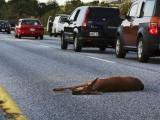ایک فائل تصویر جم میں فری پورٹ مین کے پاس ایک ہرن کار کی ٹکر سے ہلاک ہوگیا ہے۔ اب اس ریاست کے لوگ ان جانوروں کو مرنے کے بعد کھاسکتے ہیں۔ فوٹو: بشکریہ اے پی