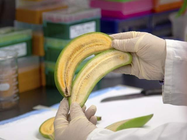 تصویر میں اوپر کی جانب سنہرا کیلا نمایاں ہے جبکہ نیچے عام کیلا ہے۔ فوٹو: بشکریہ کوئنزلینڈ یونیورسٹی آف ٹیکنالوجی