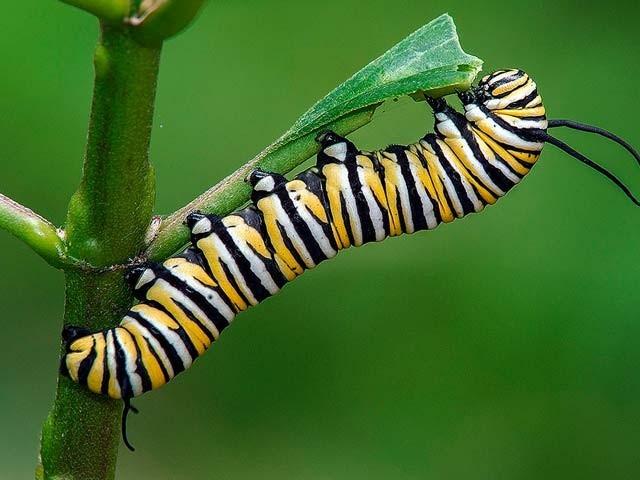 سنڈیاں (کیٹرپلر) بعض حالات میں ایک دوسرے کو کھانے لگتے ہیں اور ان میں خود پودوں کا کردار اہم ہوتا ہے۔ فوٹو: فائل