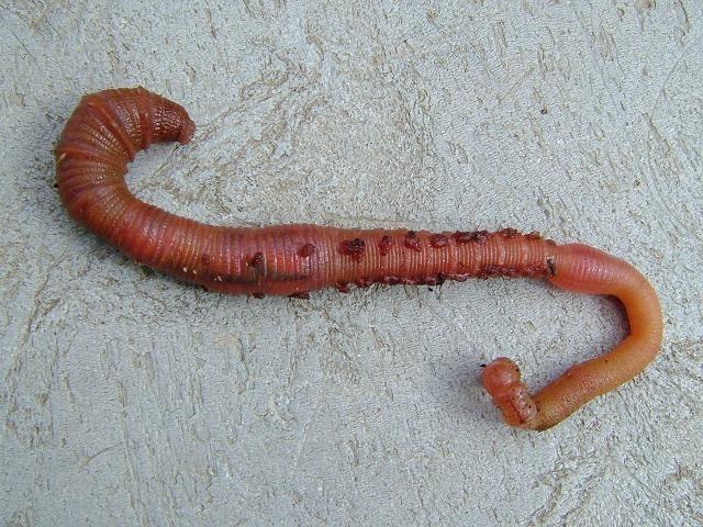 لگ ورم (کیچوے) کی ایک تصویر جس کے ہیموگلوبِن میں انسان کے مقابلے میں 40 گنا زائد آکسیجن پایا جاتا ہے۔ فوٹو: فائل