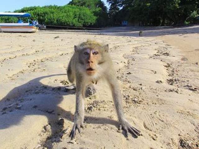 تصویر میں ایک مشتعل بندر انڈونیشیا کے مشرقی جاوا کے ساحل باما پر دکھائی دے رہا ہے۔ فوٹو: رائٹرز