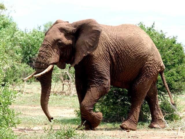 بدمست ہاتھی نے جھاڑ کھنڈ میں 11 جب کہ اس سے قبل ریاست بہار میں 4 افراد کو کچل کر مار ڈالا، سربراہ محکمہ جنگلات اور جنگلی حیات : فوٹو: فائل