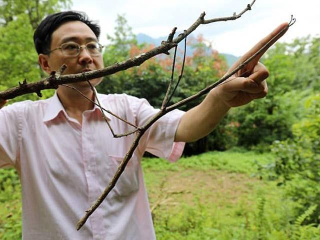ژاؤ لی دنیا کے طویل ترین کیڑے(اسٹک انسیکٹ) کے ساتھ جس کی لمبائی 25 انچ ہے اور اس کی عمر 8 ماہ ہے۔ تصویر بشکریہ: انسیکٹ میوزیم آف ویسٹ چائنا