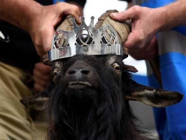 میلے میں بکرے کو قصبے کا گورنر بناکر اس کی تاج پوشی بھی کی جاتی ہے۔ (فوٹو: فائل)
