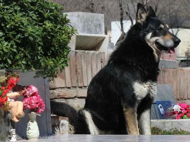 کیپٹن نامی اس کتے کا مالک 2006 میں چل بسا تھا جس کے بعد سے وہ قبر کے کنارے ہی بیٹھا ہے — فوٹو : آڈیٹی سینٹرل