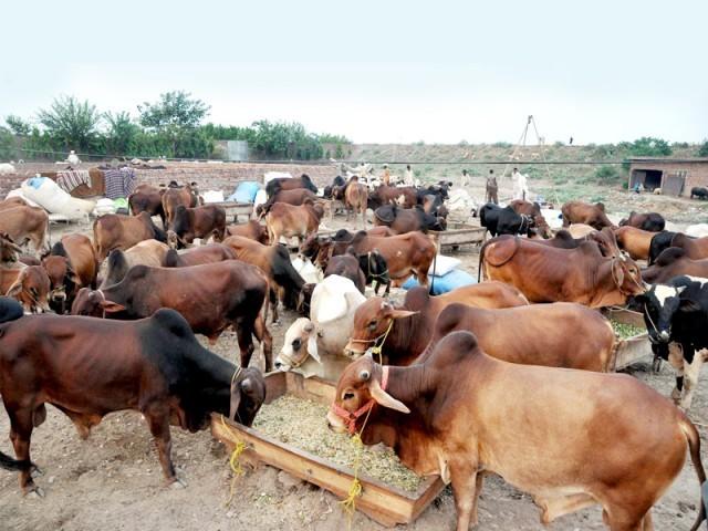 ملک بھر سے بیوپاریوں کا قربانی کے جانوروں کی فروخت کے لیے کراچی آنا ہمارے لیے باعث اعزاز ہے،محمد علی ملکانی  فوٹو: فائل