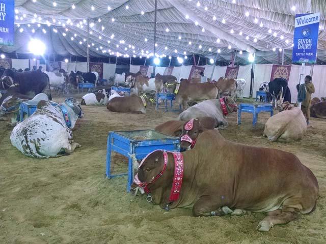 کراچی شہر کے تمام اضلاع میں غیر قانونی مویشی منڈیوں کے قیام سے بدترین ٹریفک جام ہونا شروع ہوگیا . فوٹو : فائل