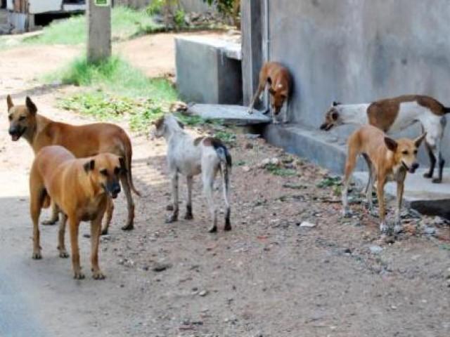 زخمی پی ایم سی منتقل، سگ گزیدگی کے واقعات کے بعد شہر میں خوف و ہراس۔ فوٹو : فائل