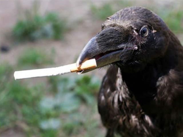 کوے کسی چمپینزی کی طرح ذہانت رکھتے ہیں،ماہرین فوٹو: فائل