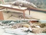کروڑوں روپے کے قیمتی جانور65 سال سے میوزیم میں محفوظ ہیں،حنوط شدہ جانوروں کیلیے مخصوص کیمیل فراہم نہیں کیاجاسکا۔ فوٹو : ایکسپریس