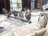تحویل میں لیے گئے باز قدرتی ماحول کھیر تھر نیشنل پارک میں آزاد کیے جائیں گے، ممتاز سومرو ۔فوٹو: ایکسپریس