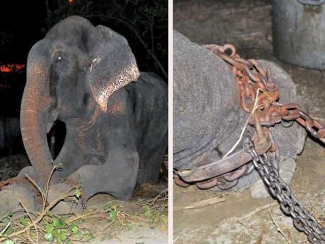 ہاتھی خوراک نہ ملنے کی وجہ سے وہ کئی سال سے پلاسٹک اور کوڑا کرکٹ کھا رہا تھا، فوٹو سوشل میڈیا