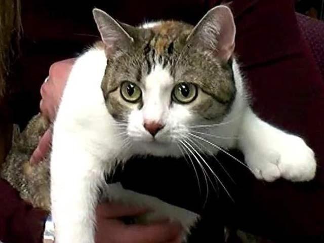 اس خوبصورت بلی کا نام پاز ہے جس کی چاروں ٹانگوں میں مجموعی طور پر 28 انگلیاں یا انگوٹھے ہیں۔ فوٹو:ڈیلی میل