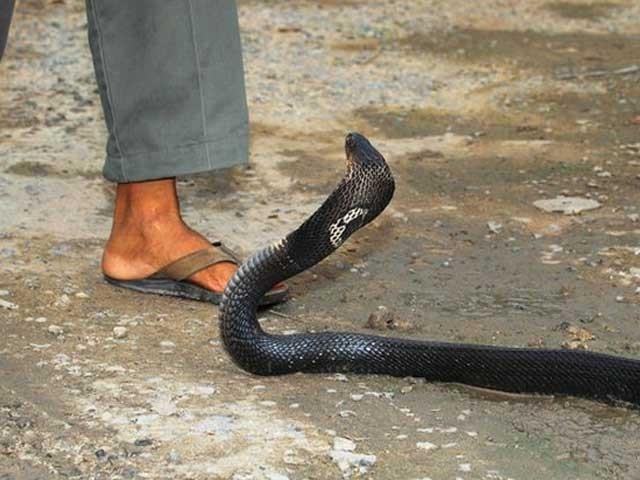 سونی لال نے دعویٰ کیا ہے کہ اس نے سانپ کا سر بدلہ لینے کے لیے چبایا ہے؛ فوٹو: فائل