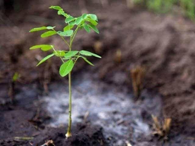 پونے 2 کروڑ اگائے گئے پودوں میں پنجاب دوسرے، سندھ تیسرے نمبرپرہے۔ فوٹو: فائل