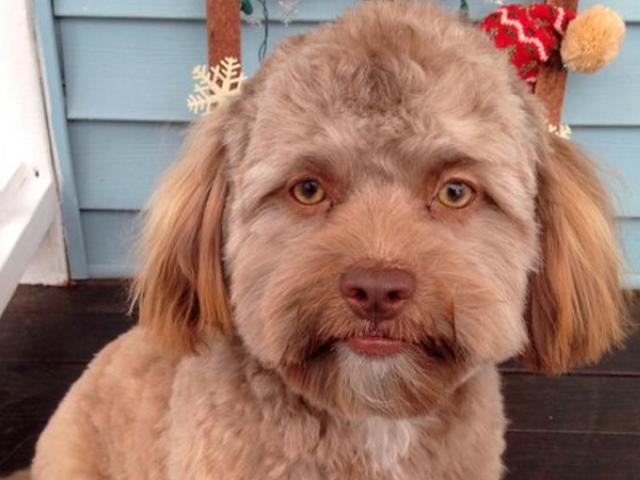 انسانوں جیسی شکل رکھنے والے کتے کی تصاویر سوشل میڈیا پر مقبول۔ فوٹو : انٹرنیٹ