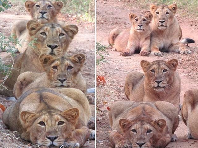 شیروں کی اس خوبصورت فیملی فوٹو کو کیمرے کی آنکھ نے محفوظ کرلیا۔ (فوٹو:کیٹر نیوز ایجنسی)