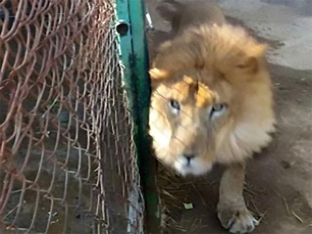 صفائی کے دوران دروازہ ٹھیک سے بند نہ  ہونے پر شیر نے حملہ کردیا،فوٹو:سی ای این