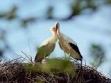 کلیپٹن اور میلینا کی محبت کی داستان پورے کروشیا میں مشہور ہے، مادہ اڑ نہیں سکتی لیکن نر بگلا ہرسال اس کےلیے آتا ہے۔ (فوٹو: بشکریہ بورڈ پانڈا)
