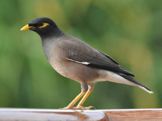 پاکستانی مینا میں ایک ایسا مرض دریافت ہوا ہے جو پولٹری اور دیگر پرندوں تک پھیل سکتا ہے۔ فوٹو: فائل