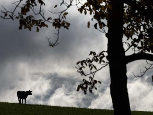 گائے کو غیر قانونی طور پر بلغاریہ کی سرحد عبور کرنے کے جرم میں سزائے موت سنائی گئی تھی۔ فوٹو : فائل