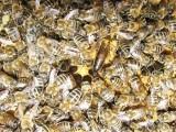 شہد کی مکھیاں (اپیس میلی سیرا کارنیکا) بارودی سرنگوں کی شناخت کرسکتی ہیں۔ فوٹو: فائل