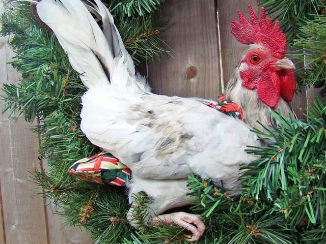 امریکہ میں مرغیوں کے لیے خاس پیمپرز تیزی سے مقبول ہورہے ہیں۔ فوٹو: فائل