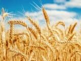 سینکڑوں سائنسدانوں نے 13 برس کی محنت کے بعد گندم کا جینوم معلوم کرلیا ہے۔ فوٹو: فائل