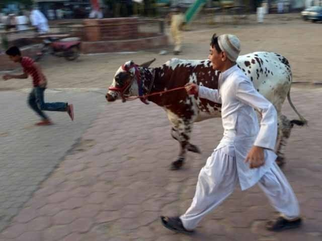 جان و مال نہیں اللہ کے پاس قربانی کرنے والے کا تقویٰ پہنچتا ہے!۔ فوٹو: ایکسپریس