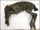 40 ہزار قدیم گھوڑے کے بچے کی عمر محض 2 سے 3 ماہ تھی۔ فوٹو : سائنس الرٹ