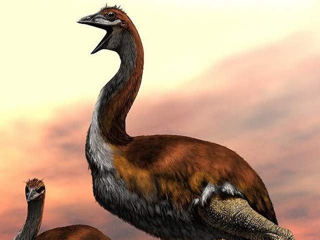 ماہرین نے دنیا کے سب سے بڑے پرندے کا اعلان کردیا ہے جو ہزار سال قبل معدوم ہوچکا ہے۔ (فوٹو: اسمتھ سونین انسٹی ٹیوٹ)