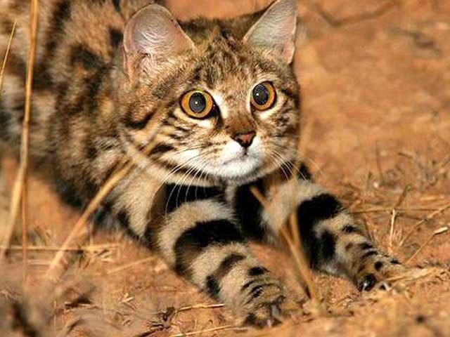 چھوٹی سی جنگلی بلی دنیا کی سب سے خطرناک اور تیز رفتار شکاری ہے (فوٹو: بشکریہ لائیو سائنس)