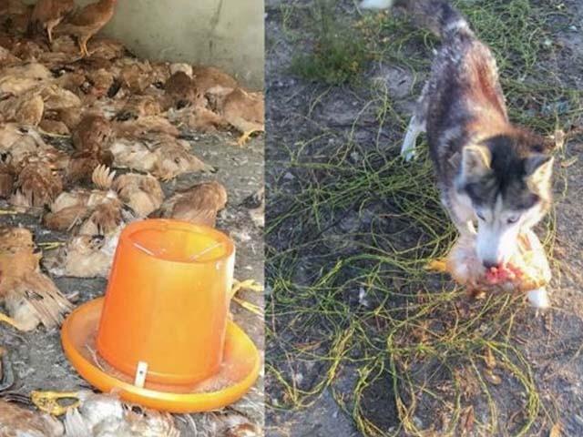 پولٹری فارم کے مالک کی شکایت پر پولیس نے کتے کو گرفتار کرلیا۔ فوٹو : فیس بک