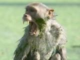 بھارت میں ایک بندر نے شیرخوار بچے کو مارڈالا (فوٹو: اے پی)