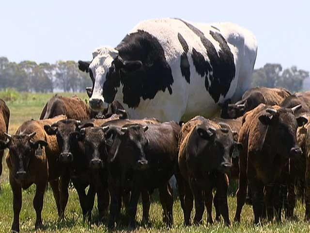 نکرز دیگر مویشیوں کے ساتھ چارہ کھاتے ہوئے اوپر سے جھانکتا ہوا دکھائی دیتا ہے (فوٹو:سوشل میڈیا)